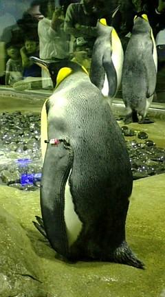 アクアス ペンギン.jpg