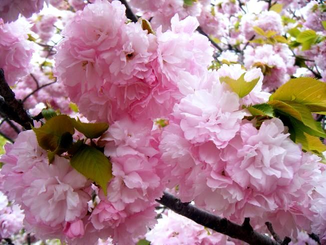 桜の通り抜け.JPG