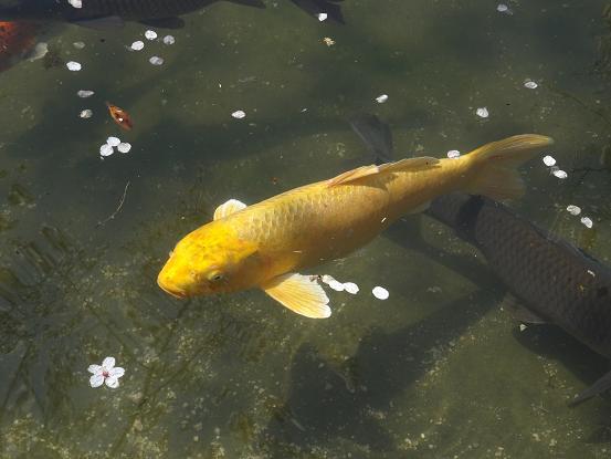 金の鯉.JPG