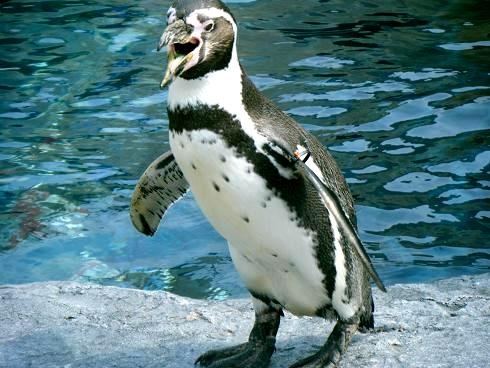 ペンギンの赤ちゃん.JPG
