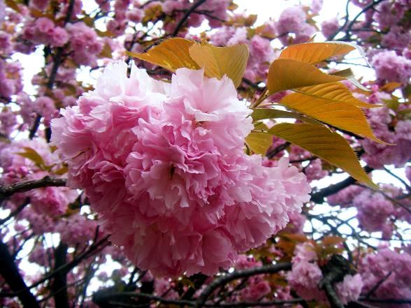 桜の通り抜け2.JPG