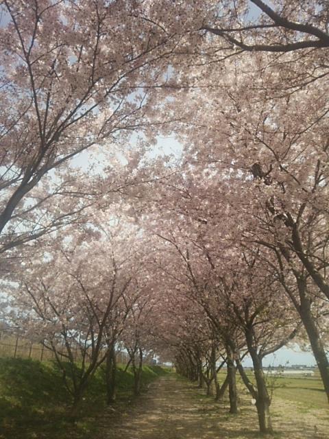 桜堤.JPG