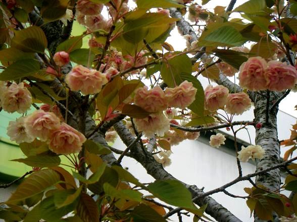 緑の桜.JPG